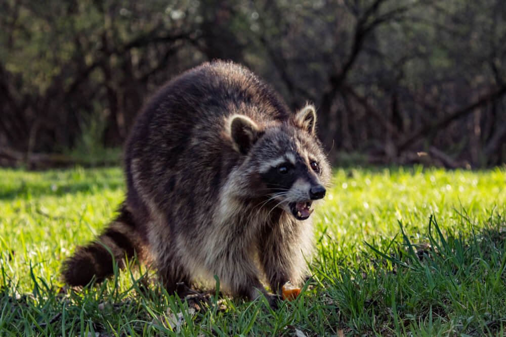 San Antonio Raccoon Removal